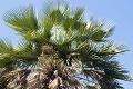 カルナウバロウ(カルナウバ椰子)のイメージ