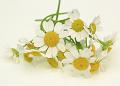 カミツレ花エキス(カミツレ カモミール)のイメージ