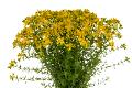 セイヨウオトギリソウ花エキス(セントジョンズワート)のイメージ