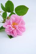 ダマスクバラ花エキス(ダマスクバラ)のイメージ