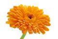 トウキンセンカ花エキス(カレンデュラ)のイメージ