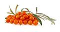 ヒポファエラムノイデス果実油(サンドロン)のイメージ